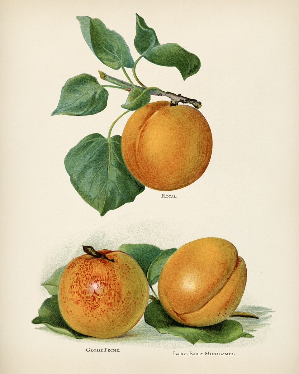 The fruit grower's guide : Vintage illustration of apricots