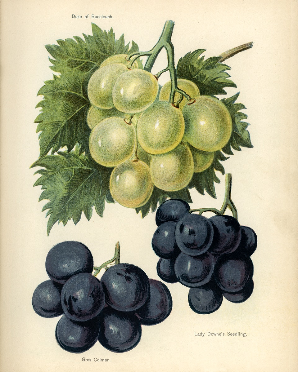 Vintage illustration of grapes digitally enhanced from our own vintage edition of The Fruit Grower's Guide (1891) by John…