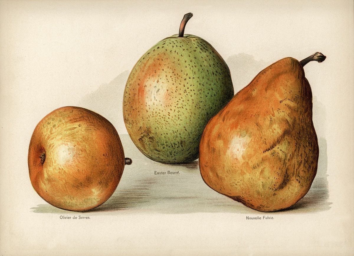 Vintage illustration of pears digitally enhanced from our own vintage edition of The Fruit Grower's Guide (1891) by John…
