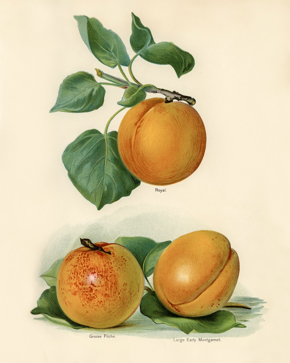 Vintage illustration of an apricot digitally enhanced from our own vintage edition of The Fruit Grower's Guide (1891) by John…