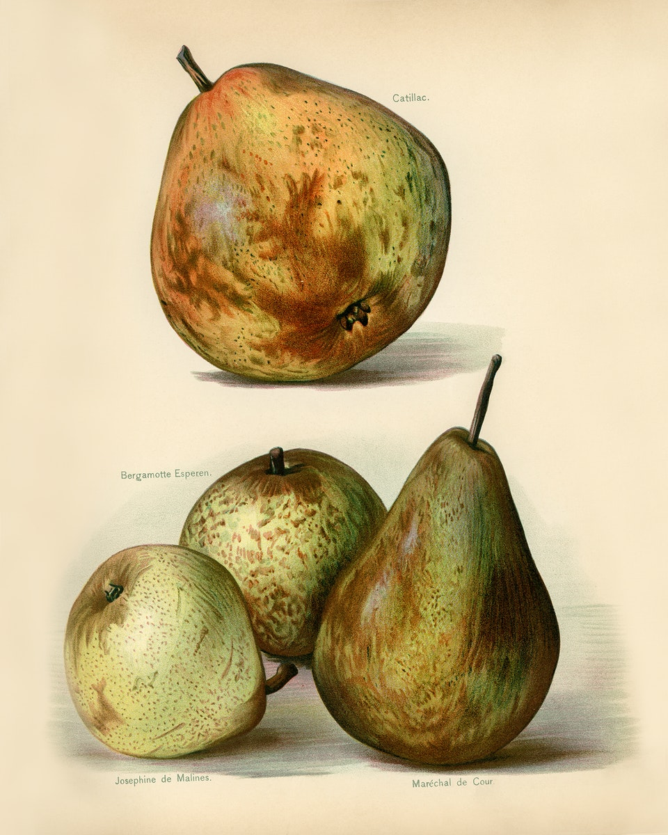Vintage illustration of fruit digitally enhanced from our own vintage edition of The Fruit Grower's Guide (1891) by John…