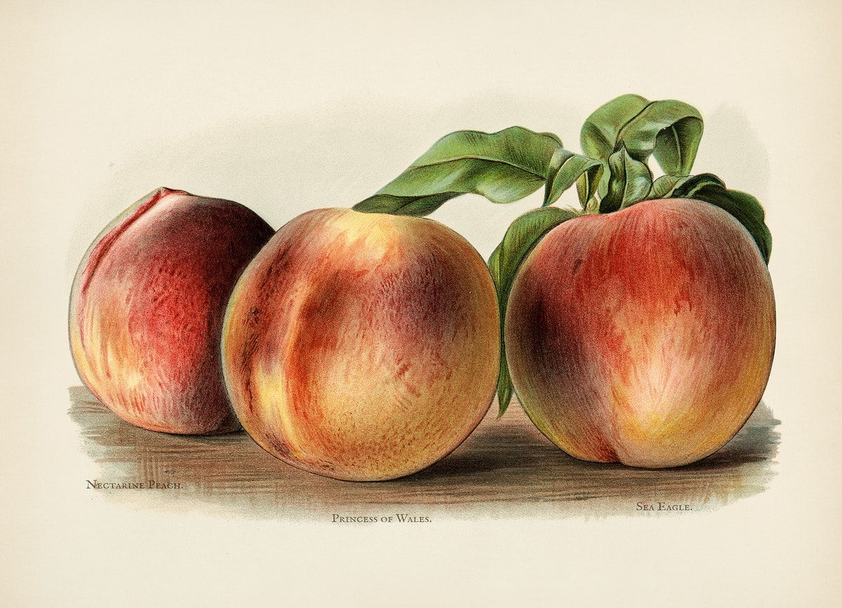 The fruit grower's guide  : Vintage illustration of peach