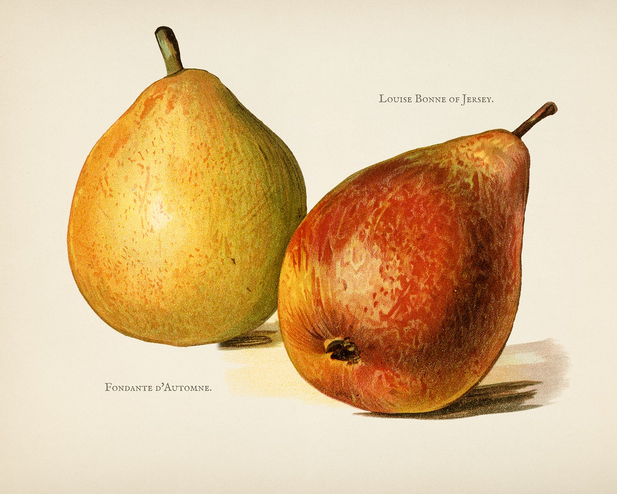 The fruit grower's guide  : Vintage illustration of pear