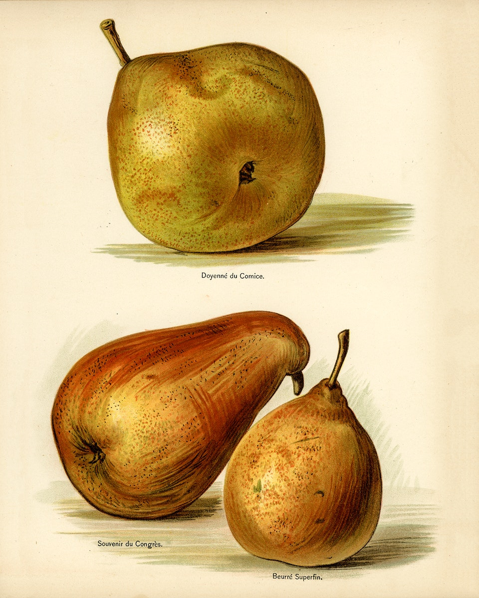 Vintage illustration of pear digitally enhanced from our own vintage edition of The Fruit Grower's Guide (1891) by John…
