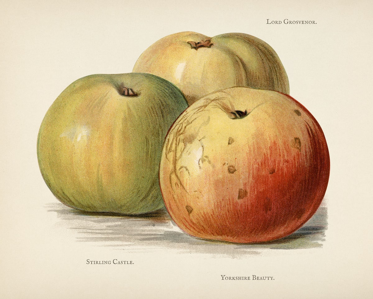 The fruit grower's guide  : Vintage illustration of apple