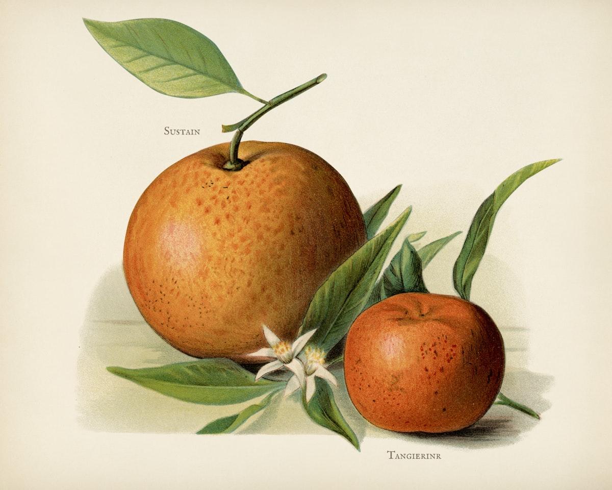 The fruit grower's guide  : Vintage illustration of orange