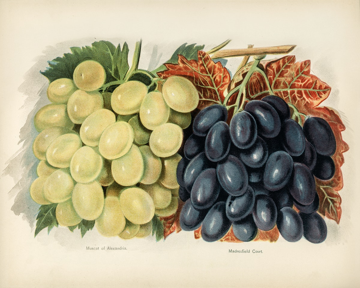 Vintage illustration of grape digitally enhanced from our own vintage edition of The Fruit Grower's Guide (1891) by John…