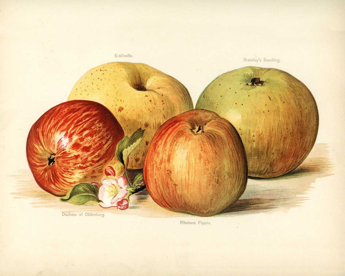 Vintage illustration of apple digitally enhanced from our own vintage edition of The Fruit Grower's Guide (1891) by John…