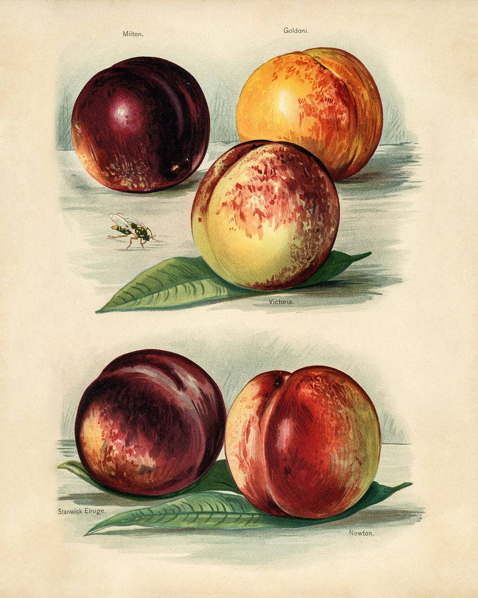 Vintage illustration of peach digitally enhanced from our own vintage edition of The Fruit Grower's Guide (1891) by John…