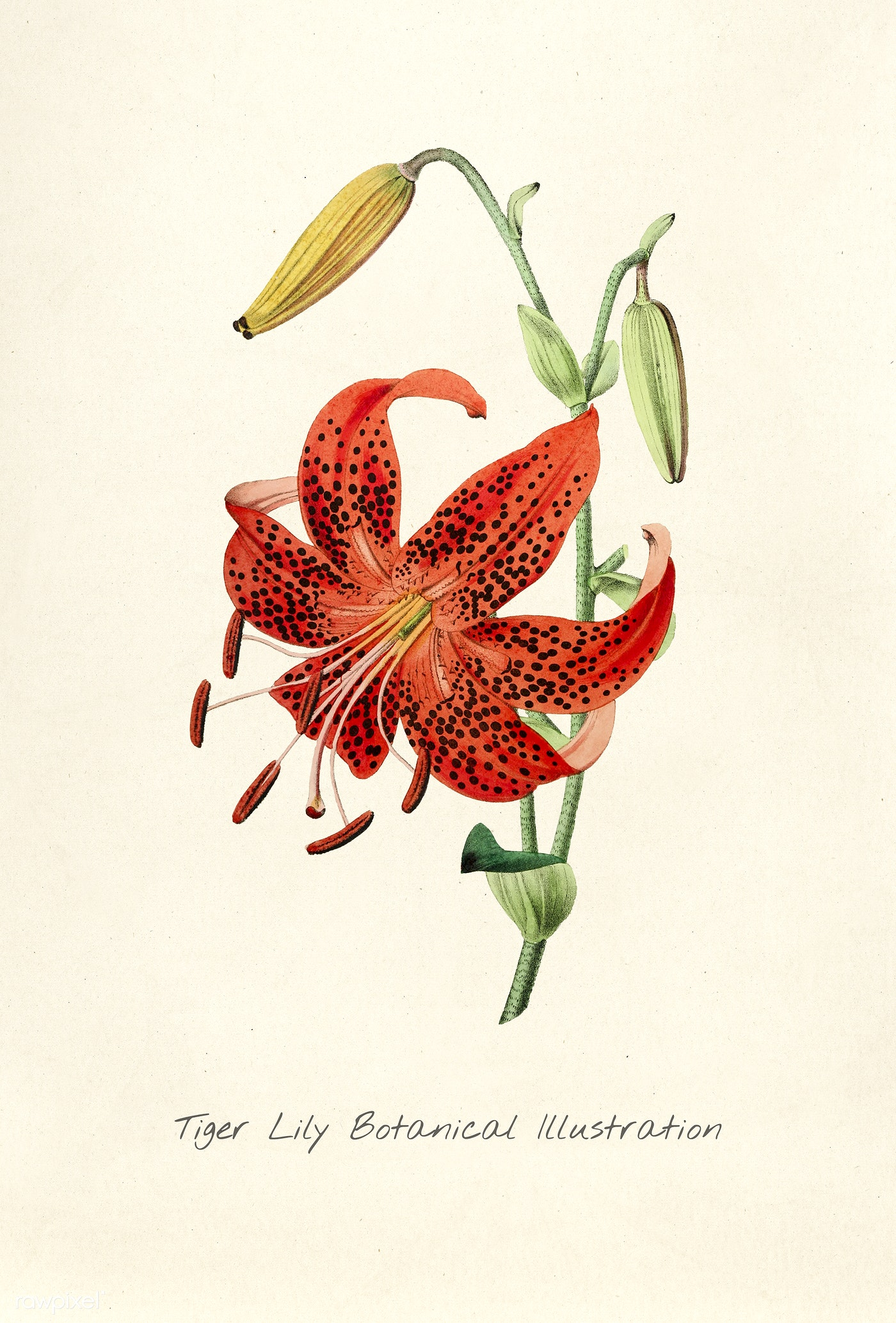 Antique Watercolor Drawing Of Tiger Lily Botanical Illustration Id