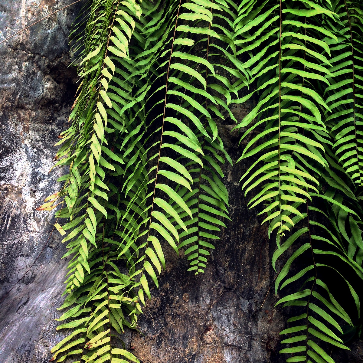 Closeup of boston fern leaves branches
