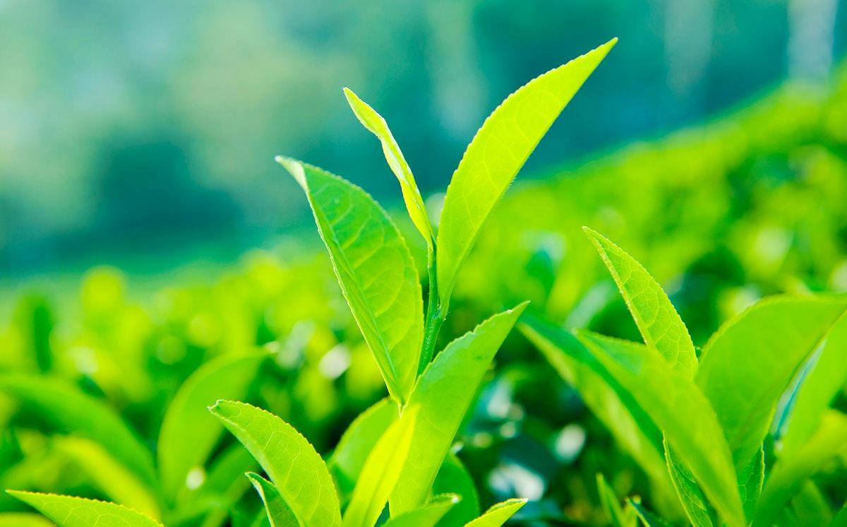 Close up of tea leaves in a farm in Sri Lanka