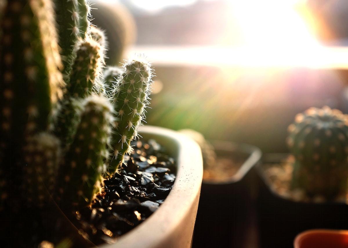 Closeup of cactus houseplants