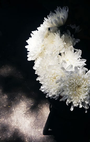 White Chrysanthemum Flower Bloom Botany
