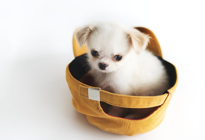 Miniature Chihuahua Dog Concept