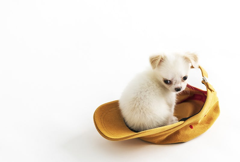 Chihuahua Cute Pet Lovely Animal Cap Concept