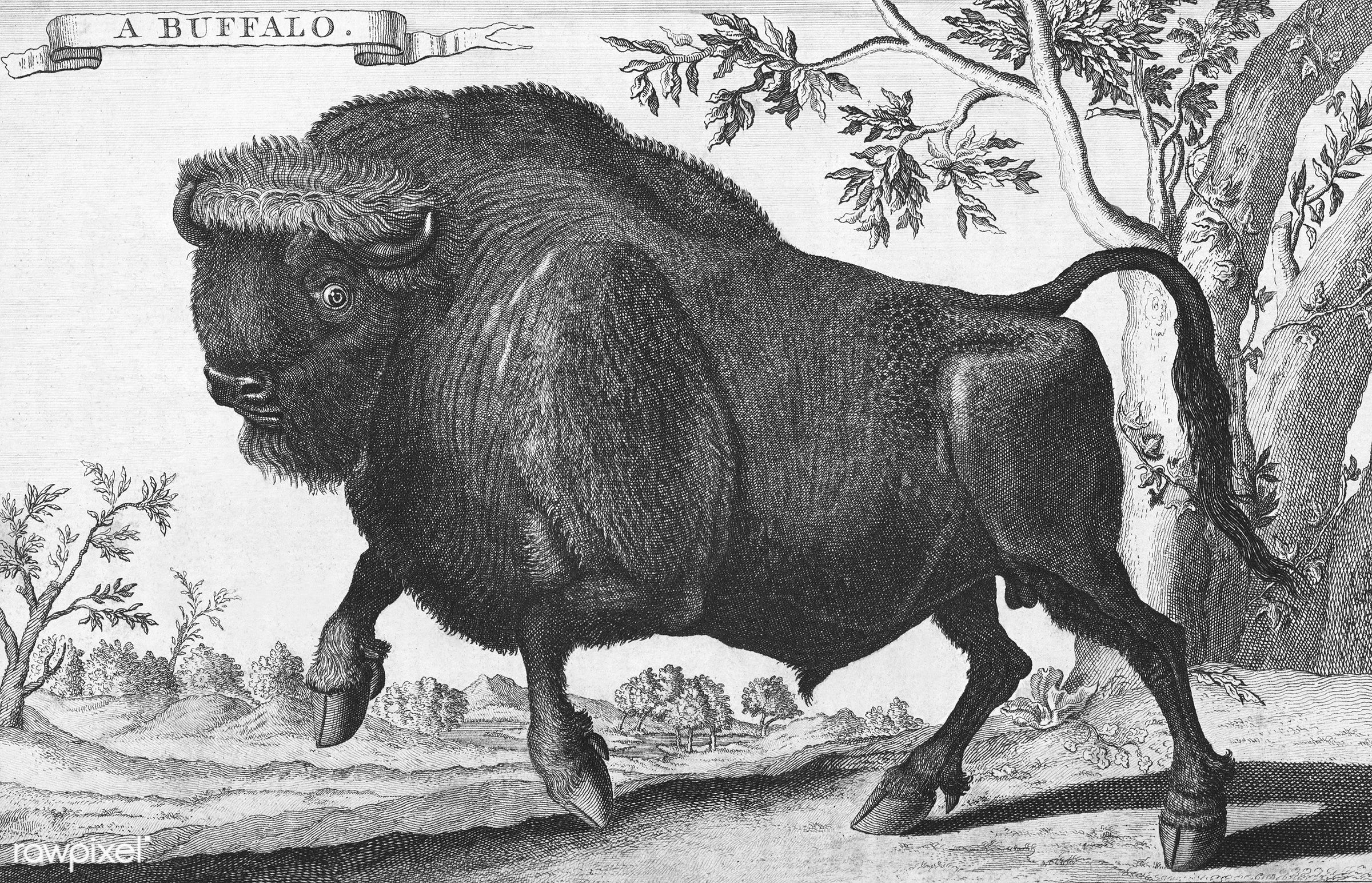 Vintage illustration of Buffalo published in 1745-1747 by Thomas Astley. - animal, antique, artwork, bison, buffalo, cc0,...