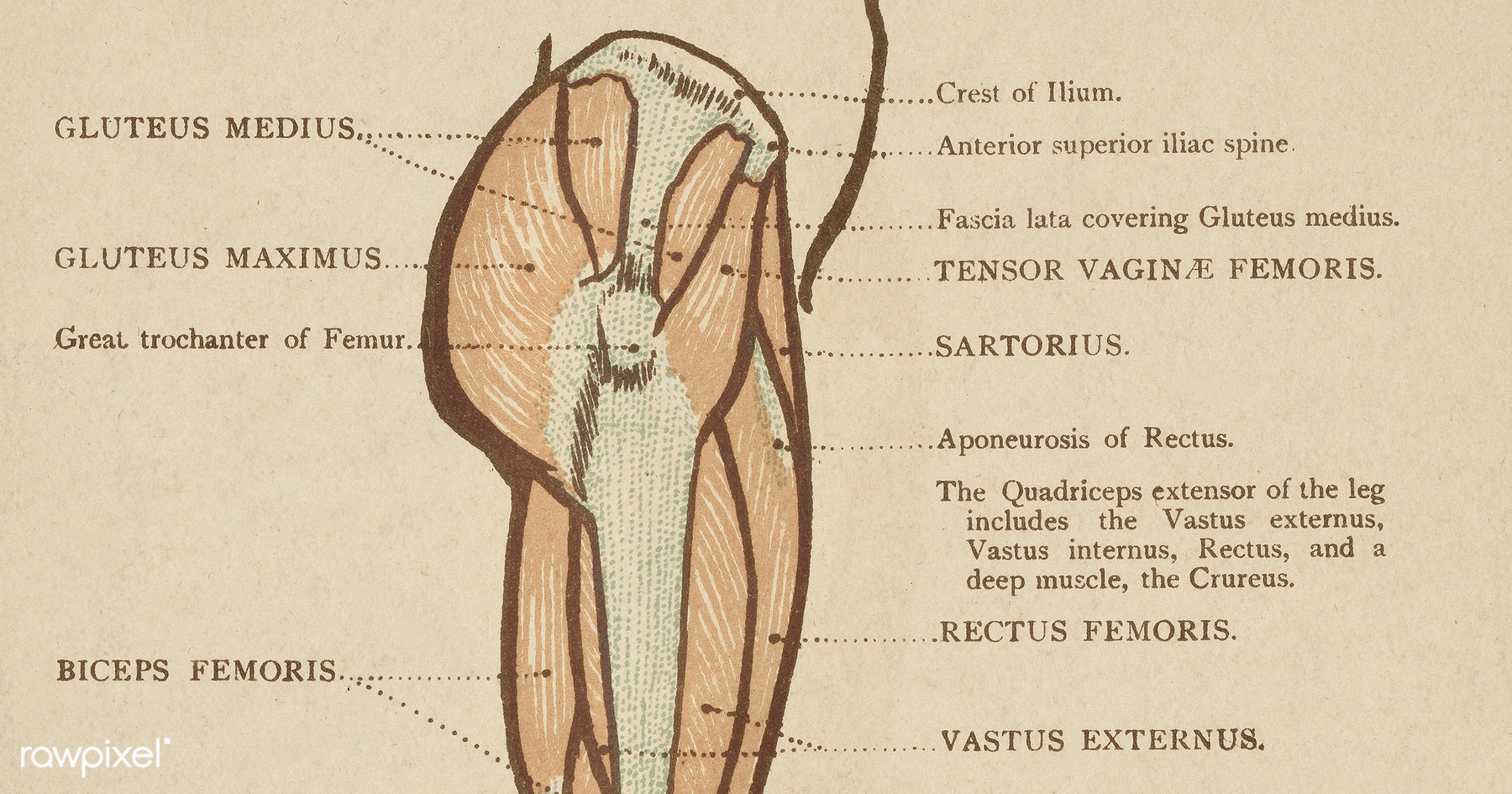 Vintage illustration of lower limb published in 1899 by James M ...