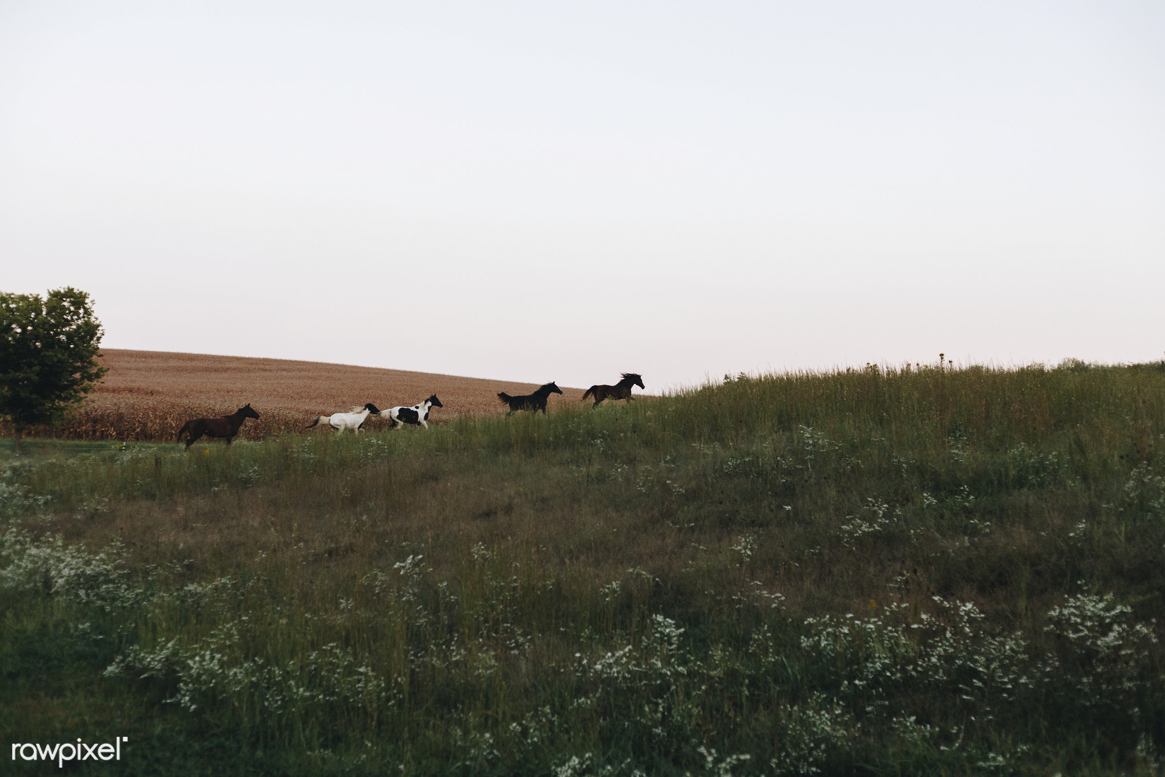 Horses running on a hill - animal, countryside, farm, field, grass, hills, horses, landscape, midwest, nature, outdoors,...
