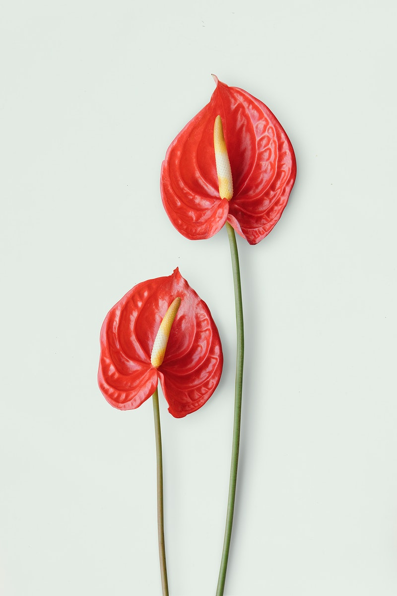 Red anthurium on a light gray background