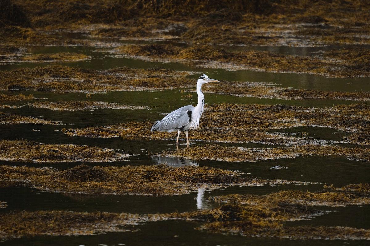 Gray white heron on the Isle of Mull