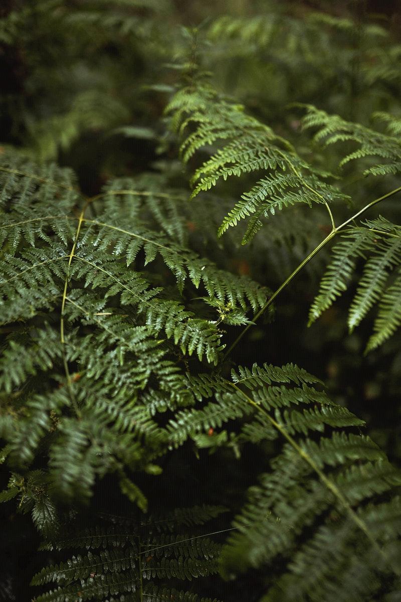 Fern leaves in Mull temperate rainforest