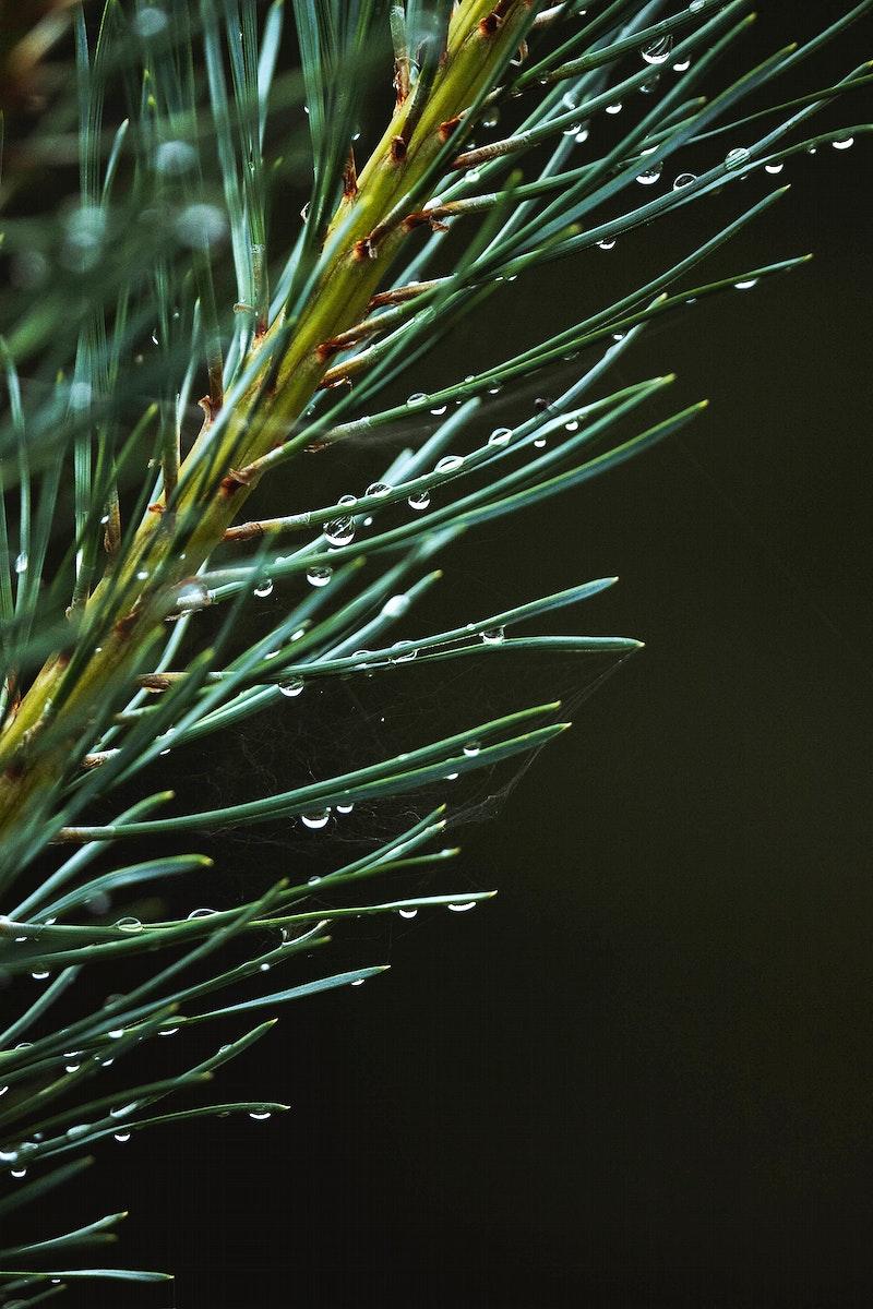 Macro shot of pine branch