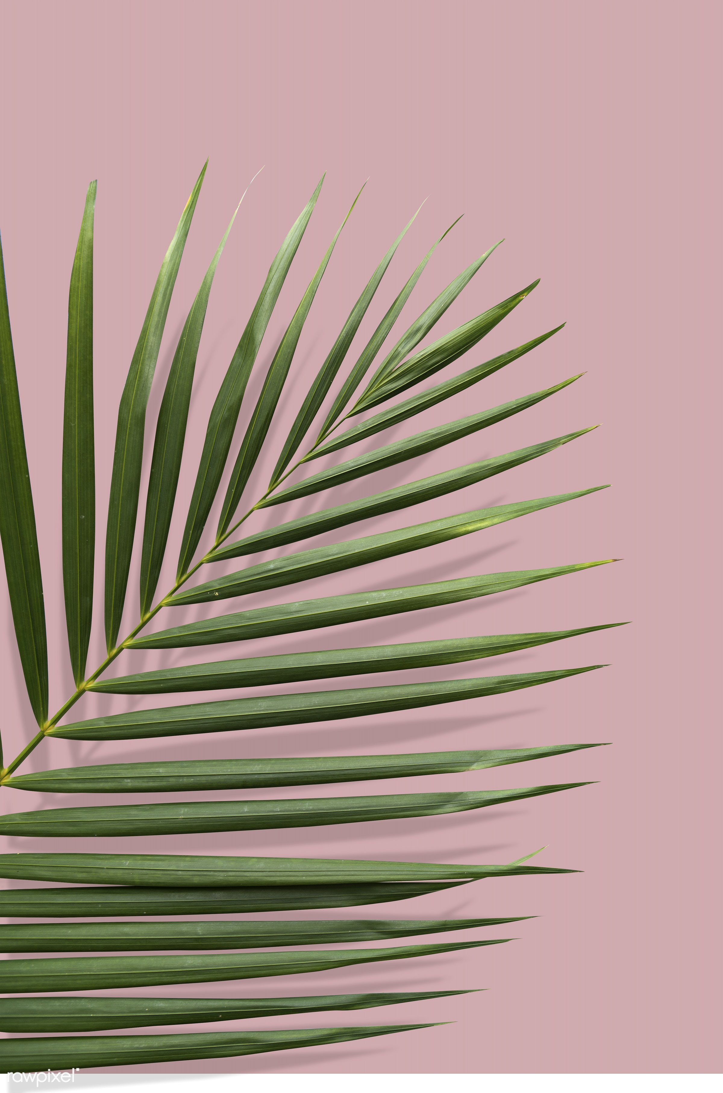 Tropical leaf with summer vibes in a pink ground - palm, exotic, green, isolated, isolated on white, leaf, leaves, natural,...