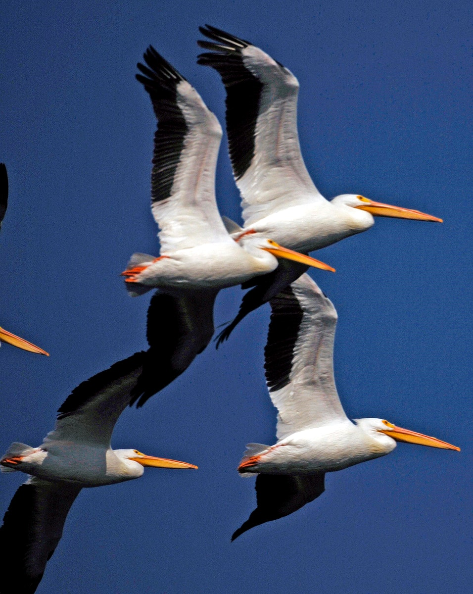 A flock of white pelicans cruise through the blue sky over NASA's Kennedy Space Center. Original from NASA. Digitally…