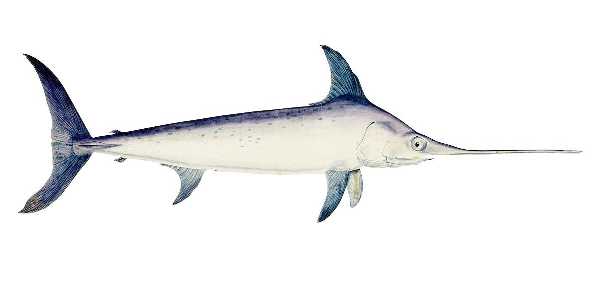 Antique drawing watercolor Sword fish marine life