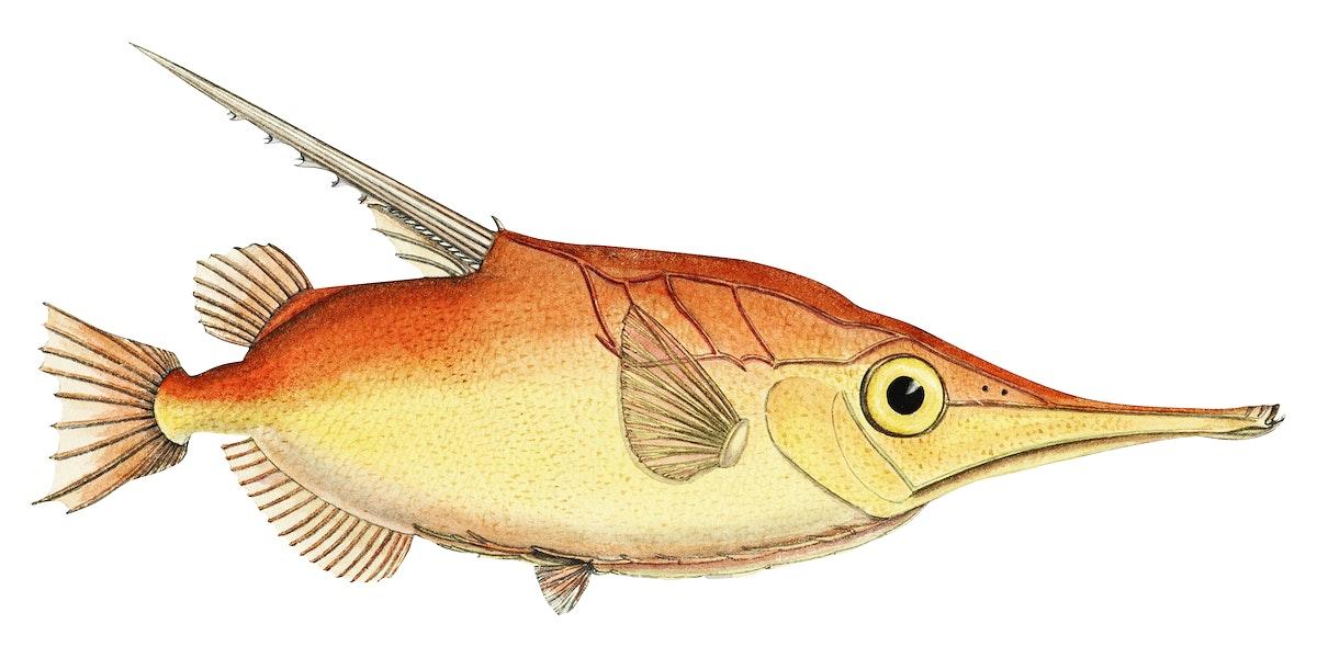 Antique fish macrorhamphosus scolopax snipefish illustration drawing