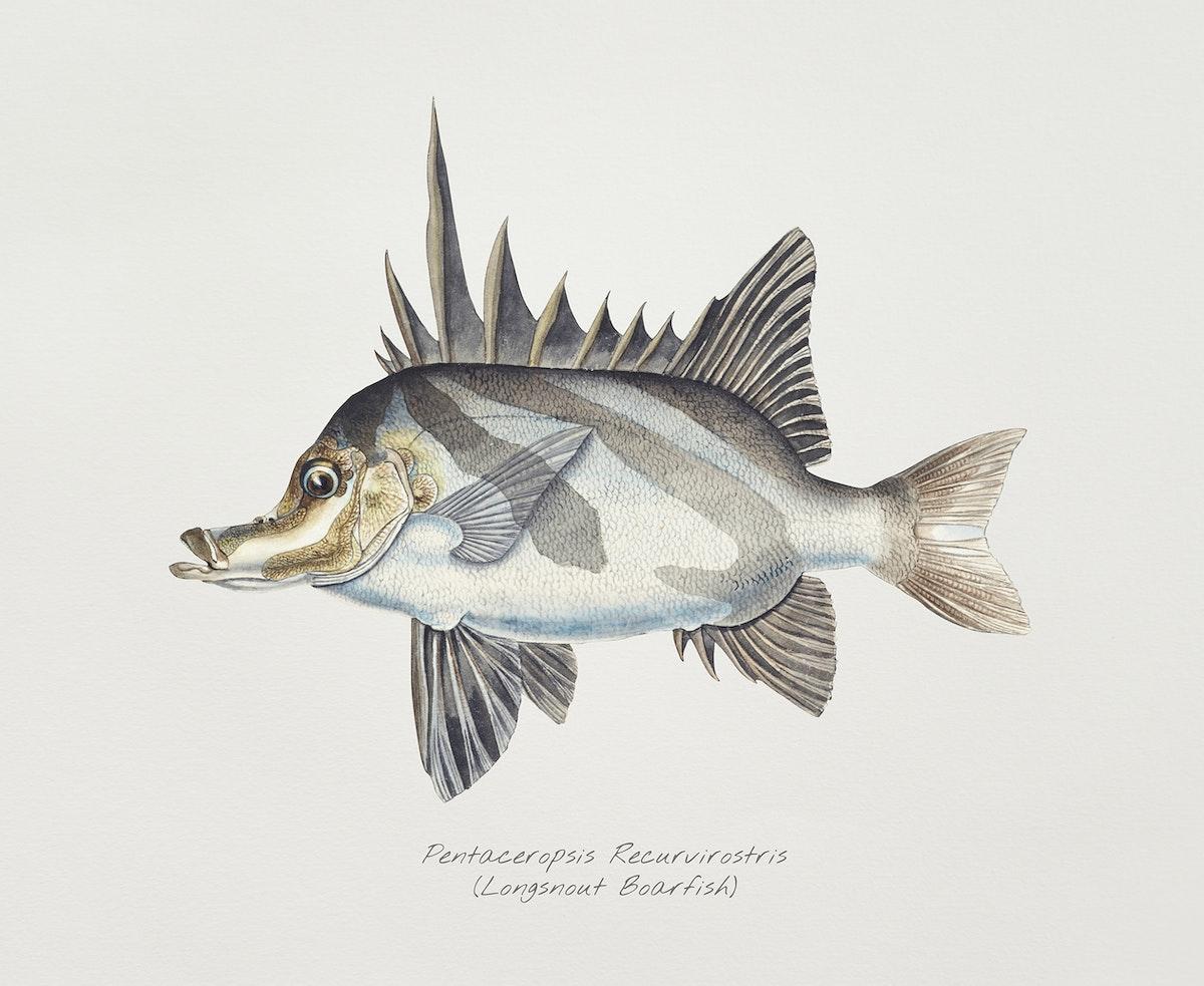 Antique fish pentaceropsis recurvirostris long-snout boarfish illustration drawing
