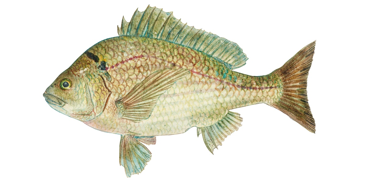 Antique fish acanthopagrus butcheri black bream illustration drawing