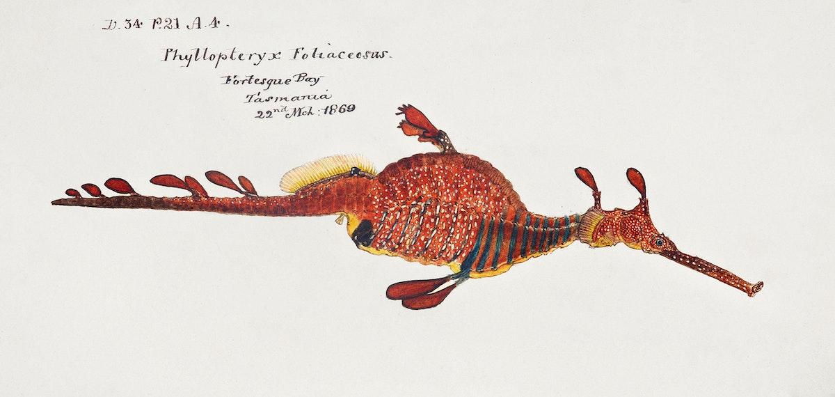 Antique fish phyllopteryx taeniolatus drawn by Fe. Clarke (1849-1899). Original from Museum of New Zealand. Digitally…