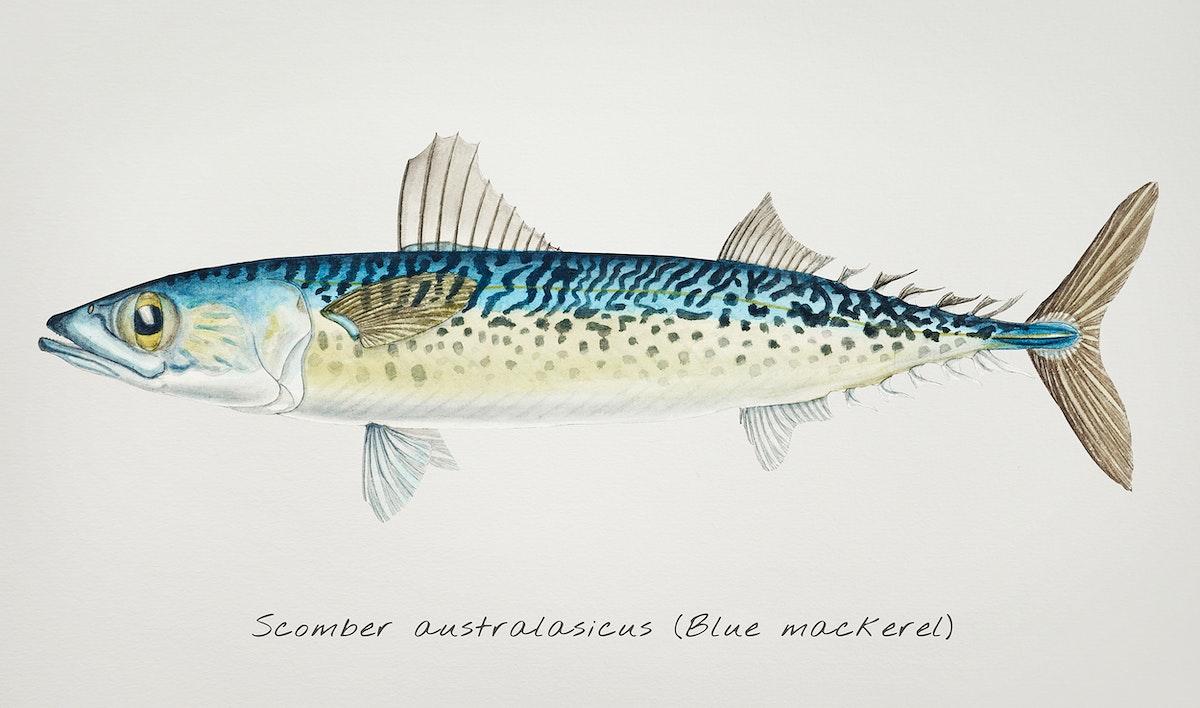 Antique fish scomber australasicus, blue mackerel illustration drawing