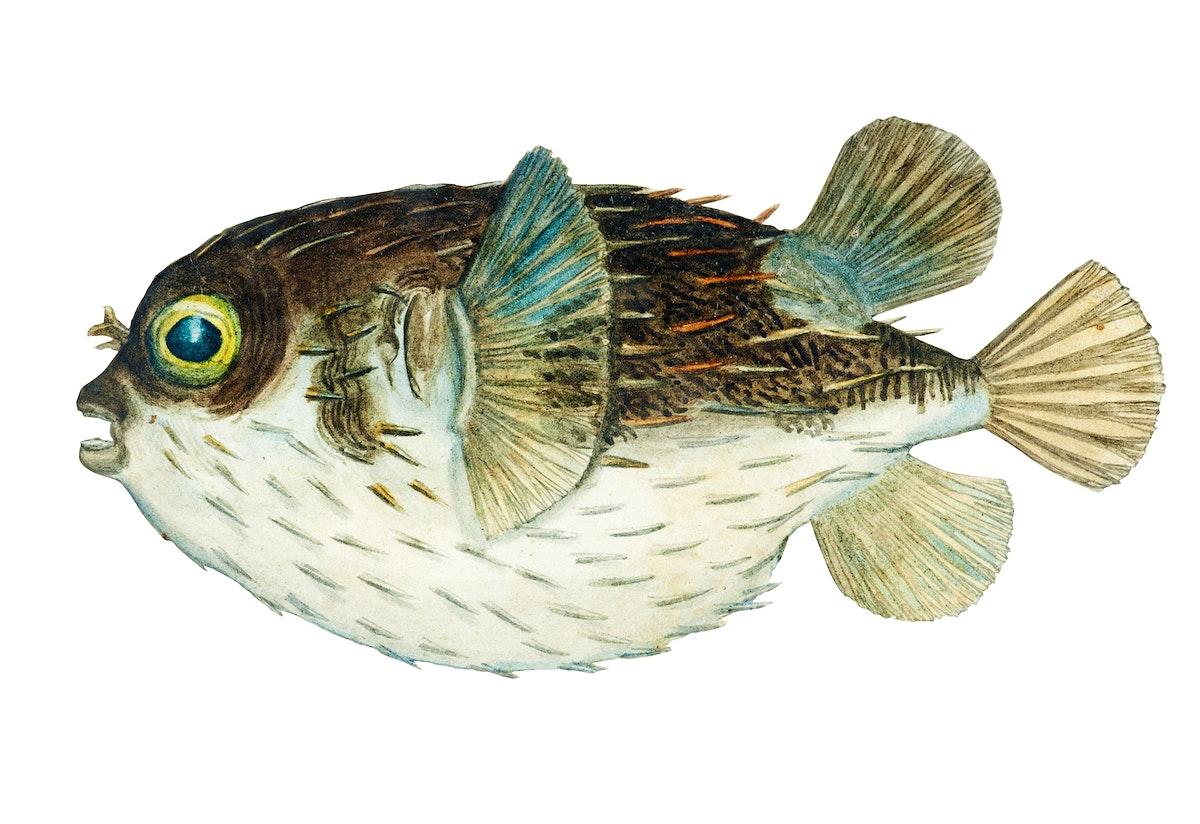 Antique fish diodon sp porcupine fish illustration drawing