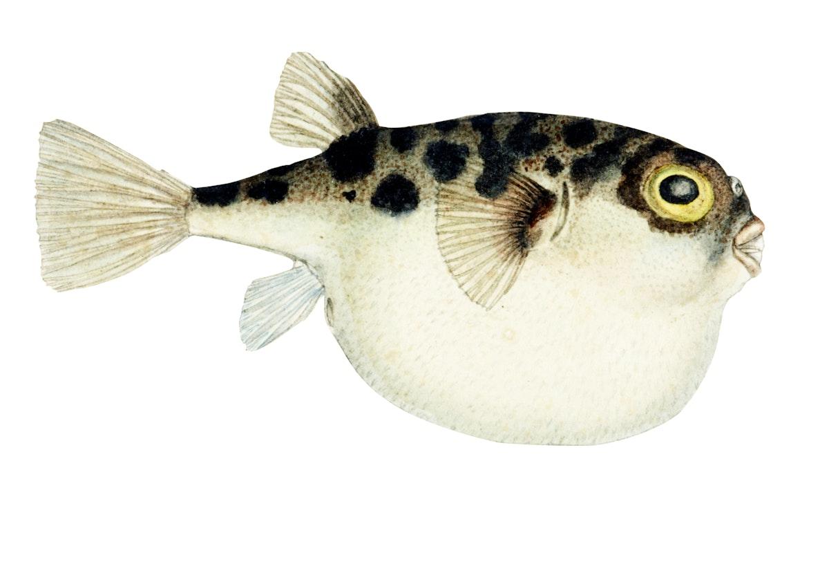 Drawing of antique fish Tetraodon gillbanksii Clarke drawn by Fe. Clarke (1849-1899)
