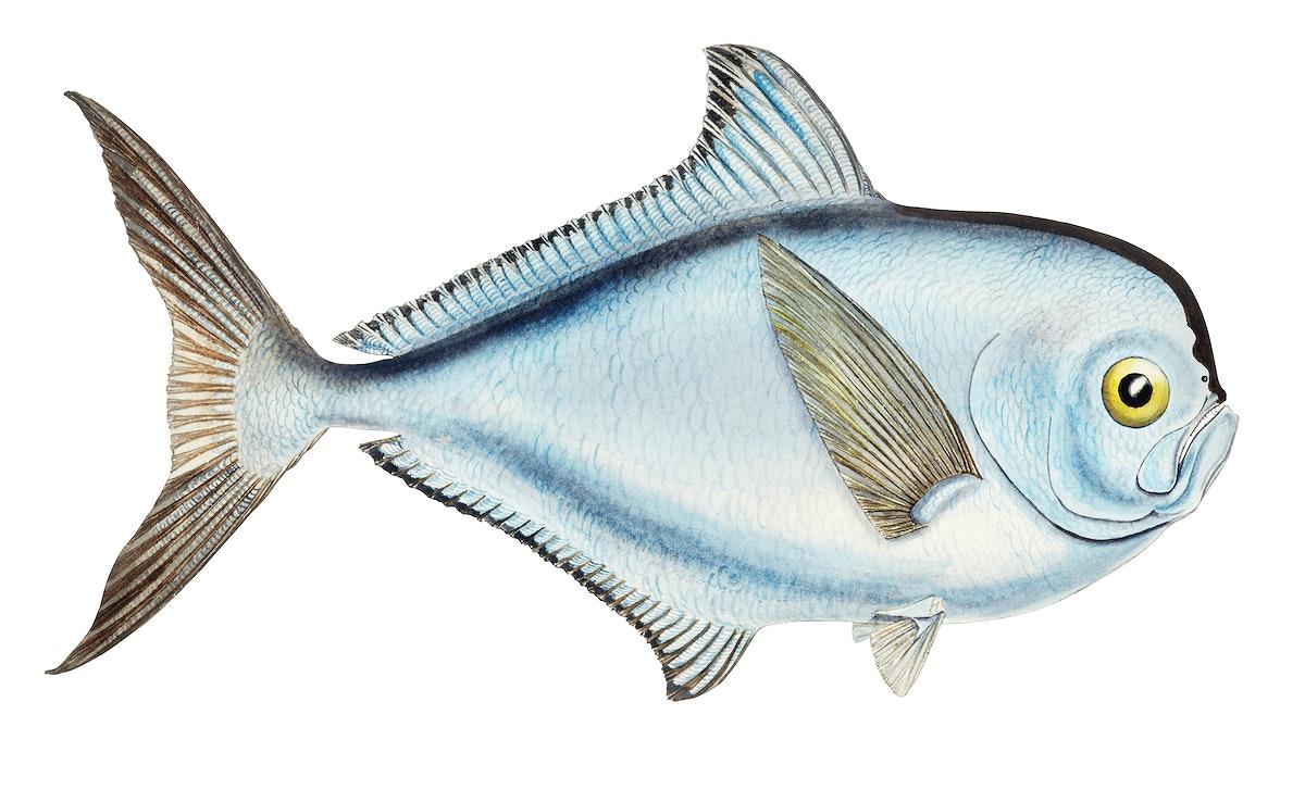 Drawing of antique fish Brama brama (NZ) - Ray's Bream drawn by Fe. Clarke (1849-1899)