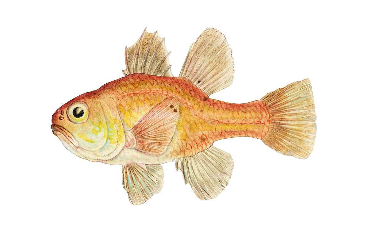 Antique fish vincentia conspera southern cardinalfish illustration drawing