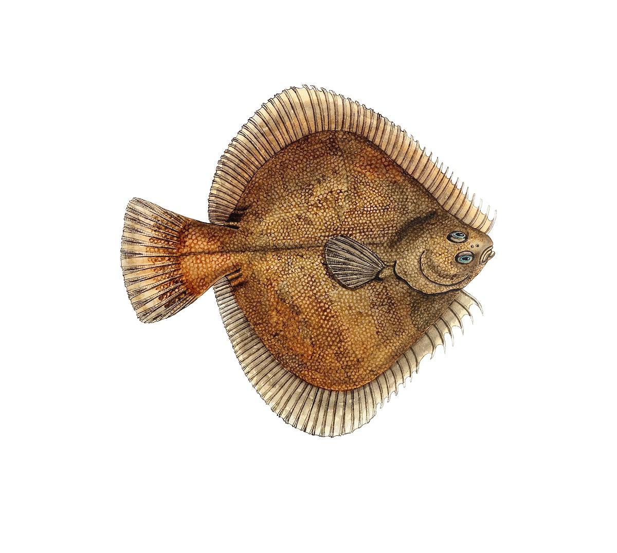 Drawing of antique fish Rhombosolea plebeia (NZ) : Sand flounder drawn by Fe. Clarke (1849-1899)