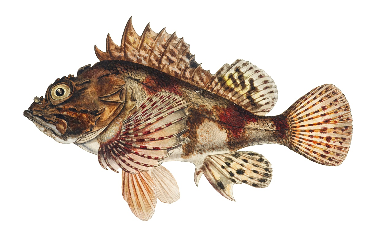 Antique drawing watercolor Red Scorpion fish marine life