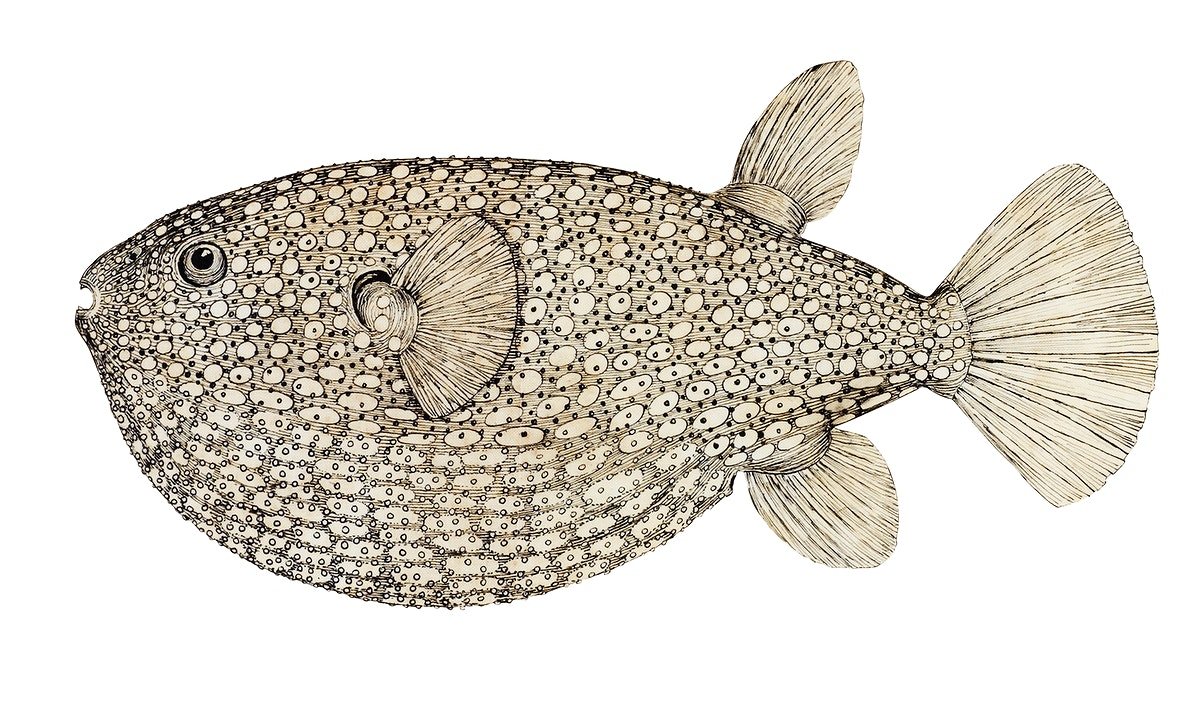 Antique drawing watercolor Gillbanks Globe fish marine life