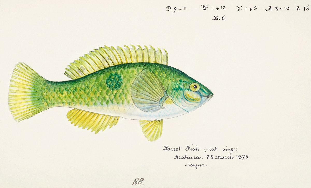 Antique fish Wrasse drawn by Fe. Clarke (1849-1899). Original from Museum of New Zealand. Digitally enhanced by rawpixel.