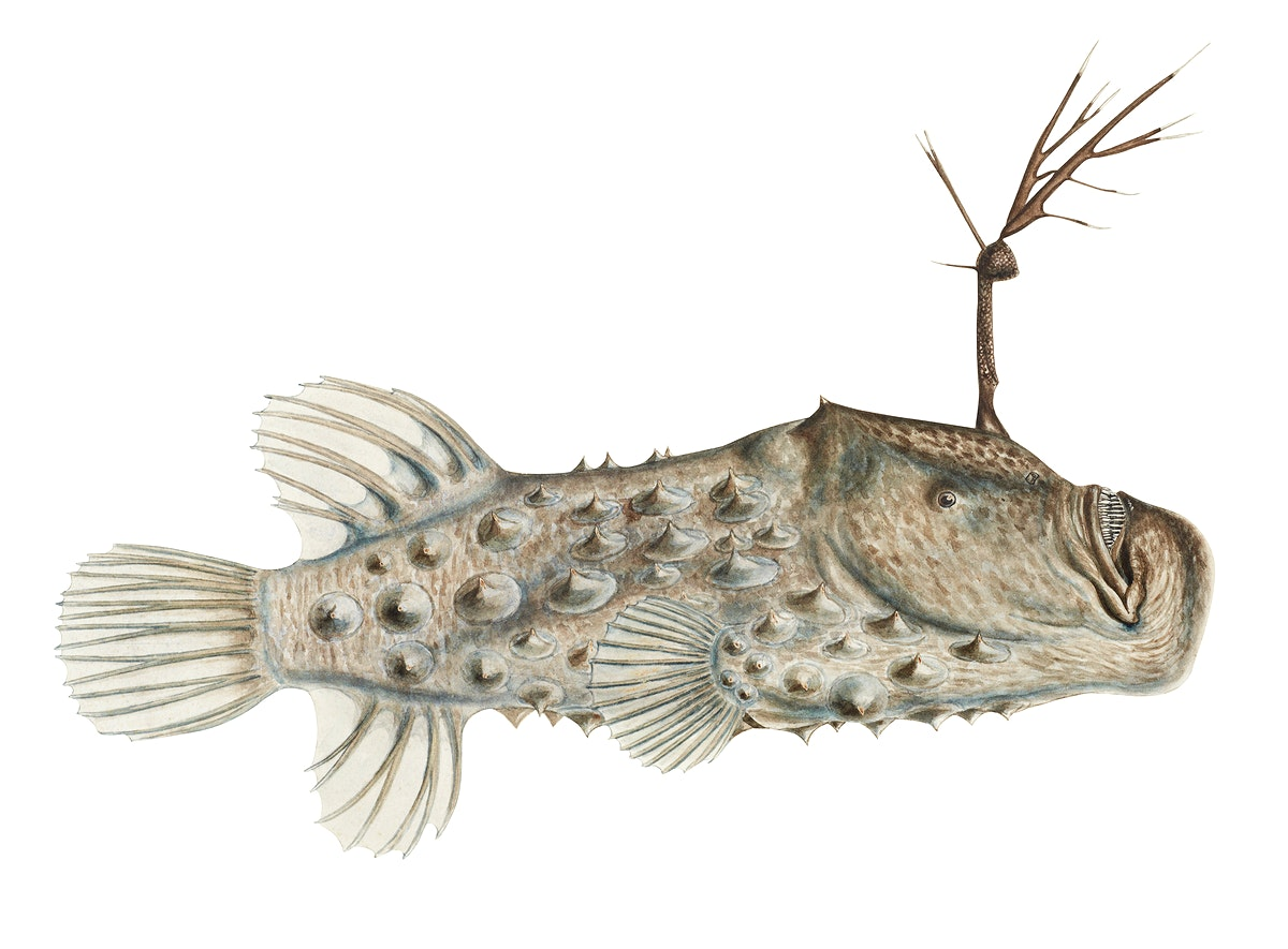 Antique drawing watercolor Prickly anglerfish marine life