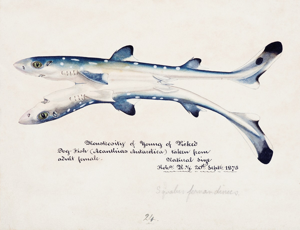 Antique fish Spotted spiny Dogfish drawn by Fe. Clarke (1849-1899). Original from Museum of New Zealand. Digitally enhanced…
