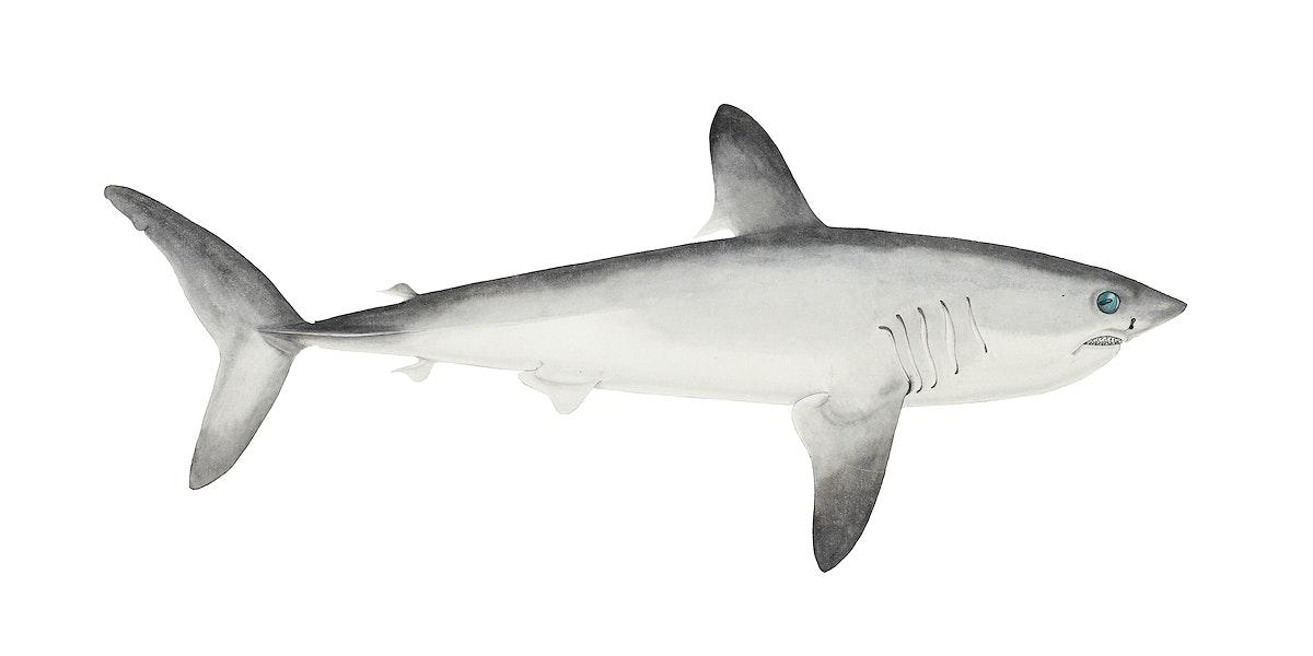 Antique drawing watercolor fish Porbeagle Shark marine life