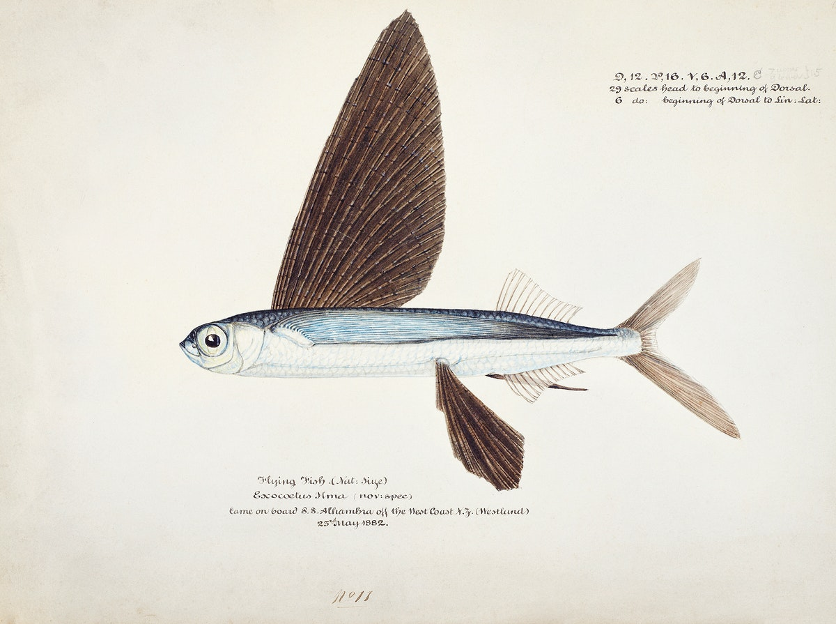 Antique Flyfish drawn by Fe. Clarke (1849-1899). Original from Museum of New Zealand. Digitally enhanced by rawpixel.