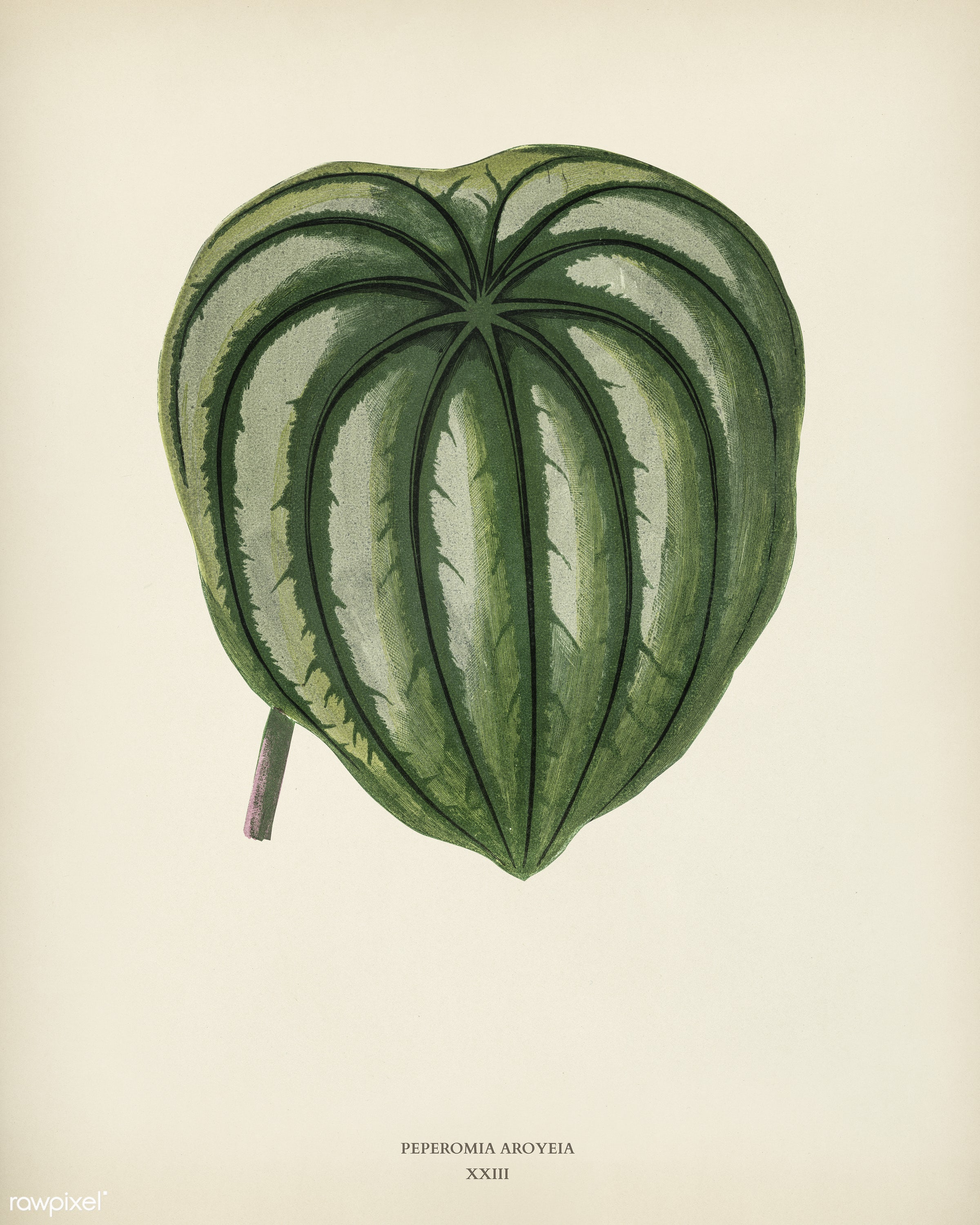 Pepper Elder (Peperomia Aroypeia) engraved by Benjamin Fawcett (1808-1893) for Shirley Hibberd's (1825-1890) New and...
