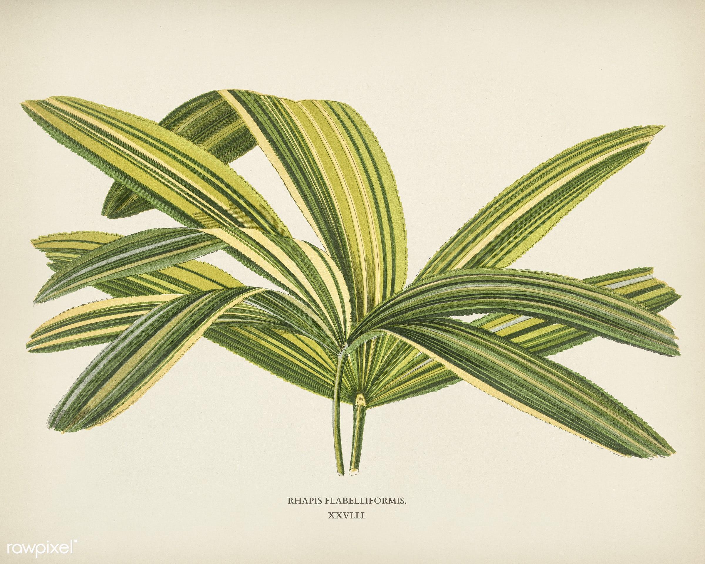 Slender Lady Palm (Rhapis Flabelliformis) engraved by Benjamin Fawcett (1808-1893) for Shirley Hibberd's (1825-1890)...