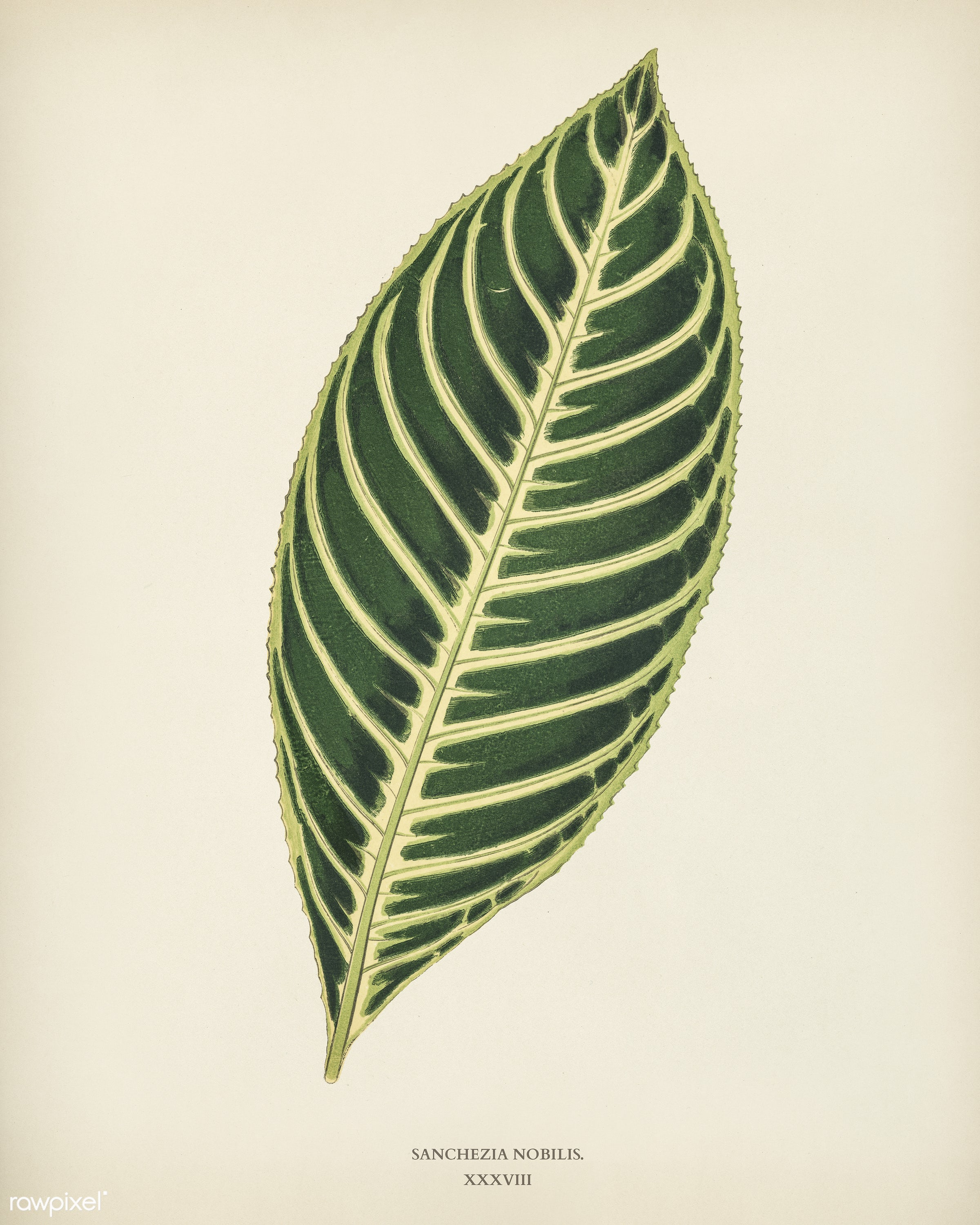 Tiger Plant (Sanchezia Nobilis) engraved by Benjamin Fawcett (1808-1893) for Shirley Hibberd's (1825-1890) New and...